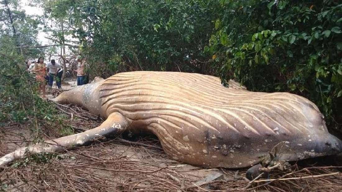 Ein toter Buckelwal liegt auf dem Rücken im Wald