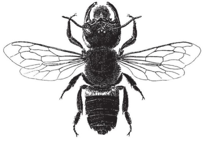 Megachile pluto, gemeinfrei