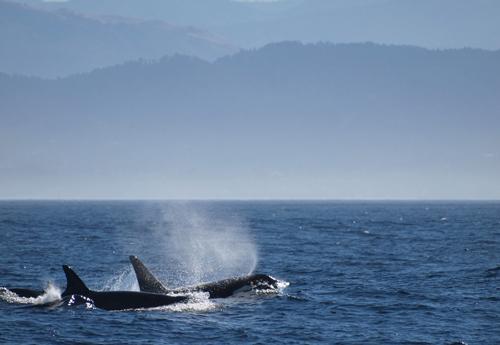 Offshore-Orcas vor Kalifornien