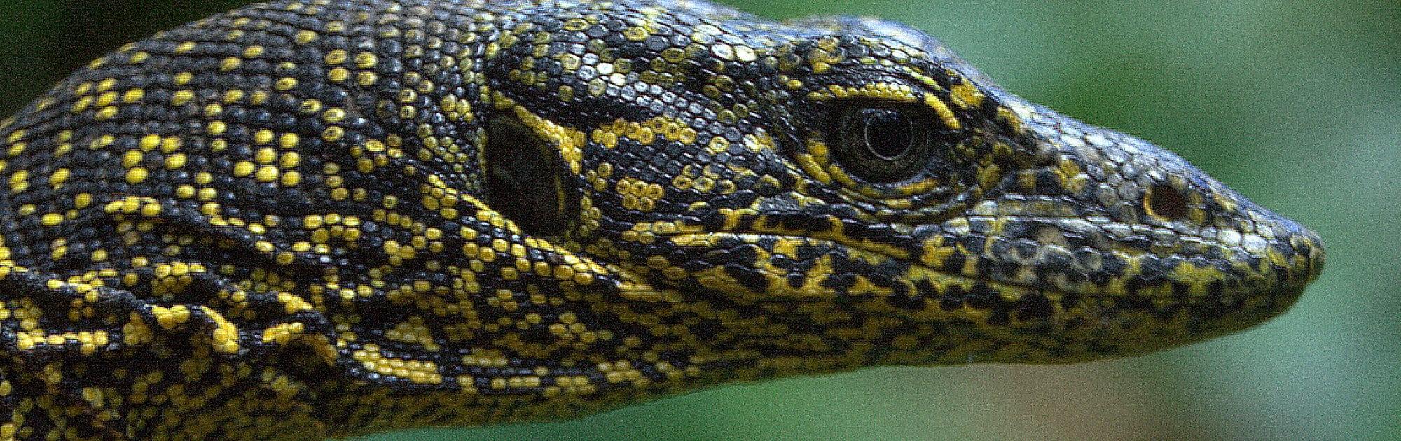 Portrait eines gelb-dunkelgrau gefärbten Waranes