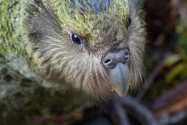 Kakapo-Portrait von Kimberley Collins