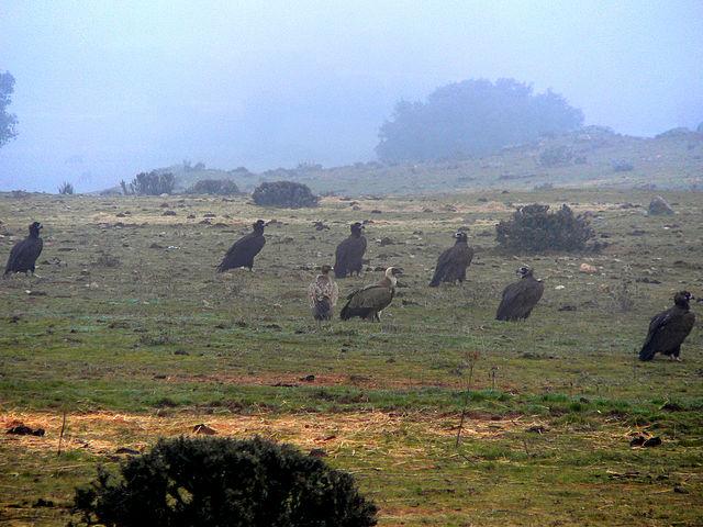 Sechs Mönchs- und zwei Gänsegeier sitzen im Morgennebel auf einer Wiese