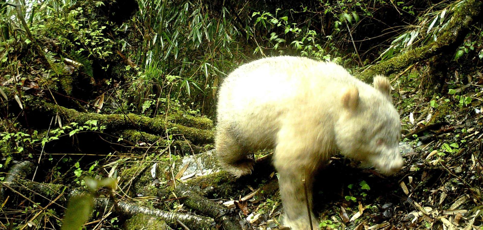 Weißer Bär im gemäßigten Urwald