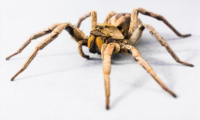 Große Spinne vor weißem Hintergrund
