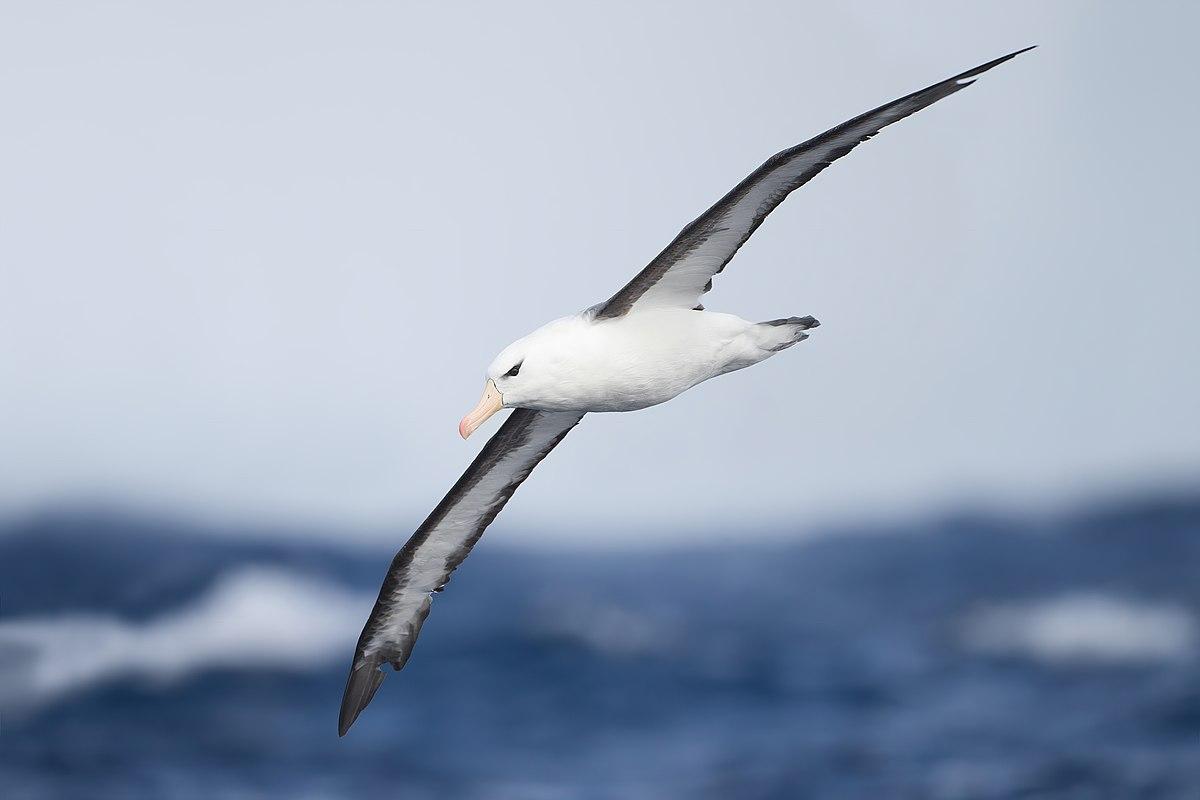 Ein Schwarzbrauen-Albatros im Flug