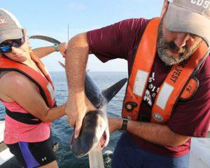 Wissenschaftler spülen den Magen eines jungen Tigerhais
