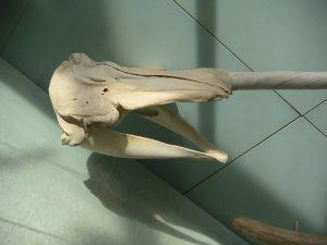 Narwalschädel, ohne Kieferzähne, nur der linke Eckzahn ist zum Stoßzahn ausgebildet