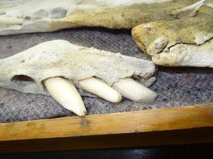 Kieferstück mit drei Zähnen