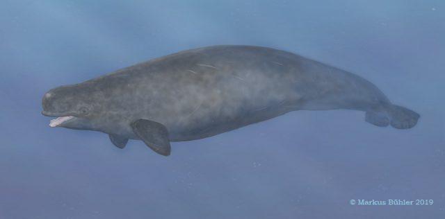 Grauer Gründelwal mit auffälligen Zähnen im Wasser