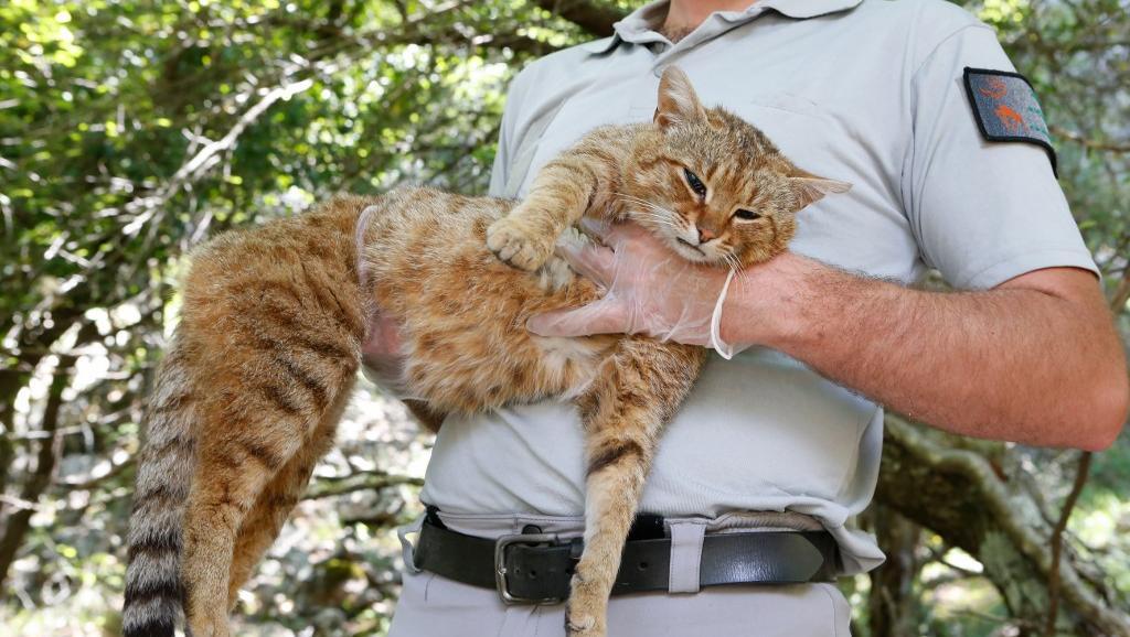 Der Mitarbeiter der französischen Behörde für Jagd und Wild, Charles-Antoine Cecchini hält eine 'ghjattu-volpe', eine Fuchskatze in die Kamera.
