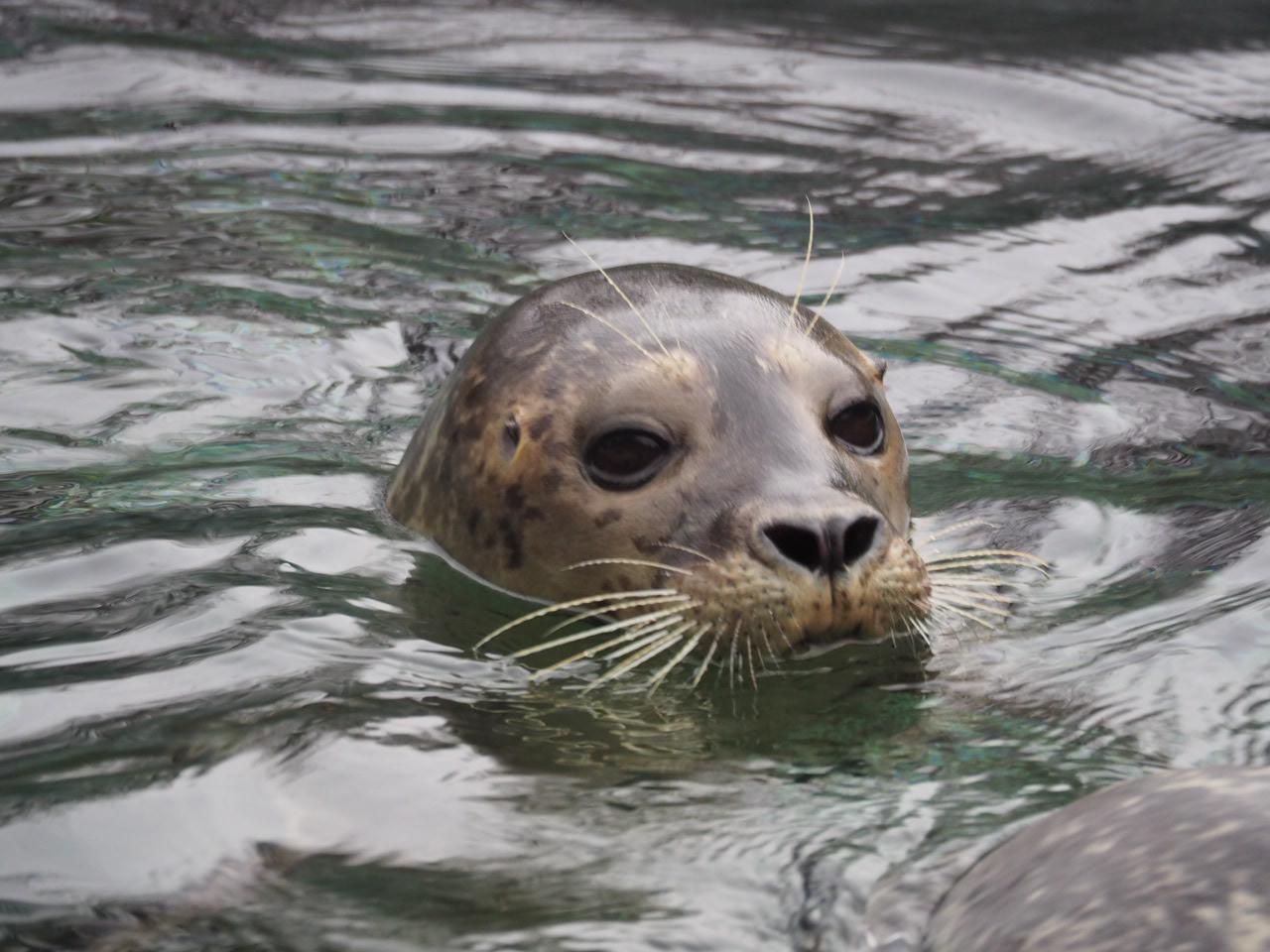 Seehund im Wasser, Tierpark Bochum