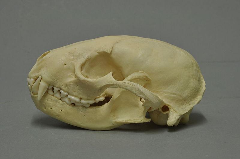 Waschbär-Schädel