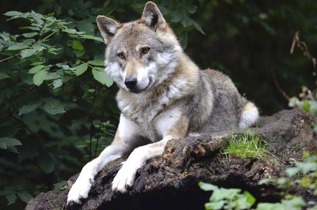 Ein Wolf liegt auf einer Baumwurzel
