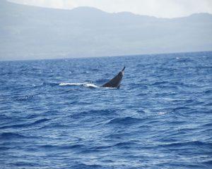 Schnabelwal schaut zu 1/3 aus dem Wasser