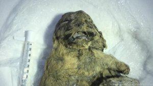 Mumie eines der beiden Wolfsbabies