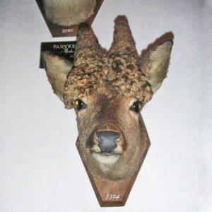 Perückenbock-Kopfpräparat