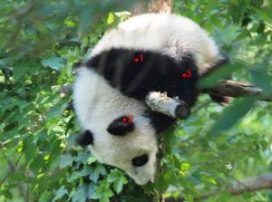Pandabärjunges auf einem Baum