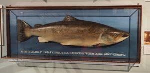 Abguss eines riesigen Lachses