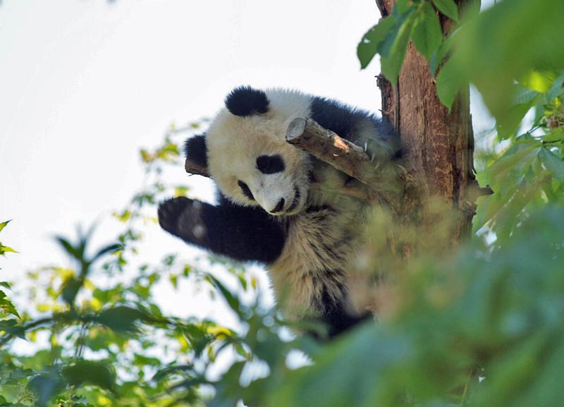 Ein junger großer Panda sitzt im Baum und scheint zu winken