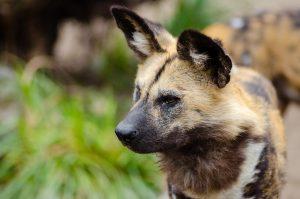 Portrait eines afrikanischen Wildhundes