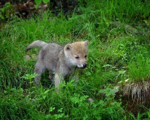 Wolfsbaby im Gras