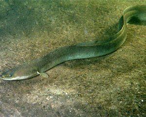 Aal auf dem Boden eines Aquariums