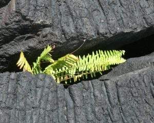 Grünes Farn zwischen Lava-Gestein
