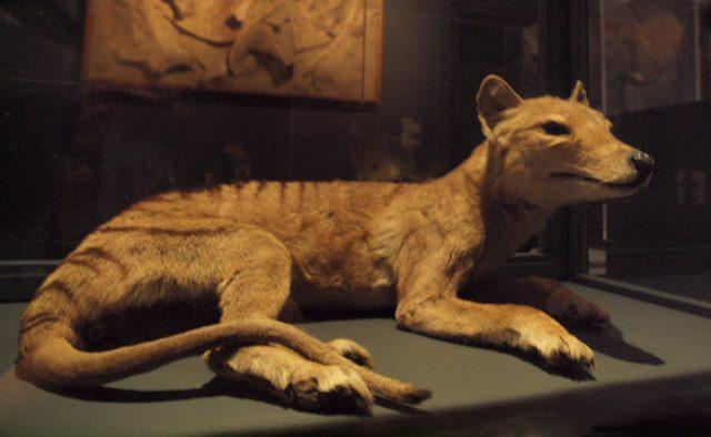 Beutelwolf in Wien