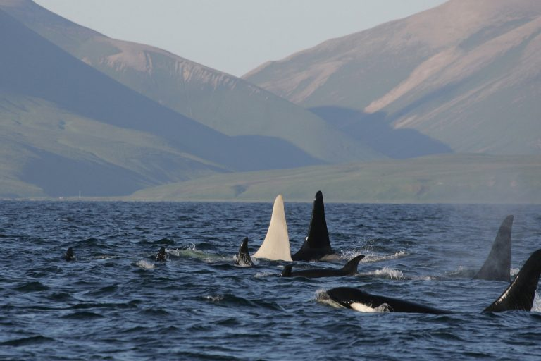 Gruppe von Orcas mit einem weißen Männchen