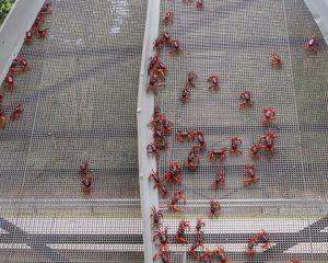 Krabben auf der Brücke