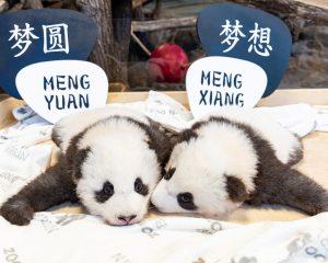 Zwei Pandababies