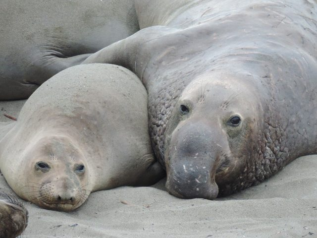 zwei südliche Seeelefanten