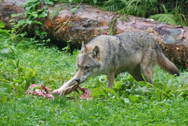 Wolf beim Riss