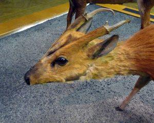 unidentifizierter Muntiak im Naturkundemuseum Paris