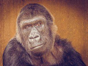 Gorilladame Boma