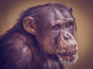 Schimpanse Charly