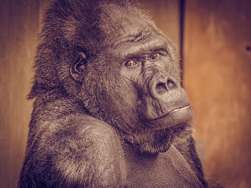 Gorillamännchen Massa