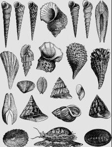 Mollusken