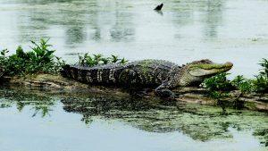 Mississippi-Alligator in den Bayous von Lousiana