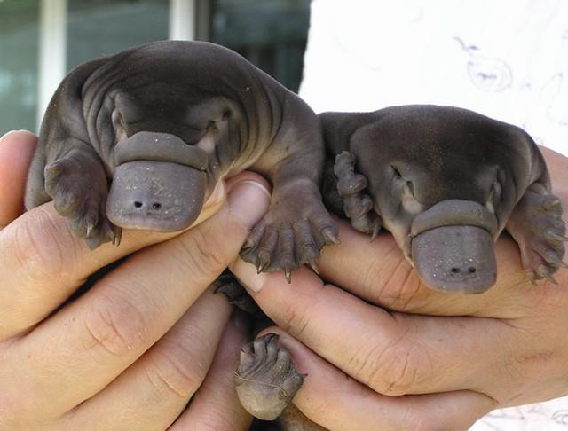 Das sind echte Schnabeltierbabys