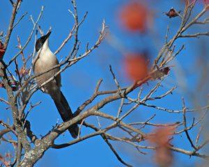 Blauelster im Baum