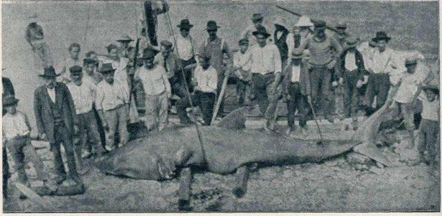 Weißer Hai, Adria 1906