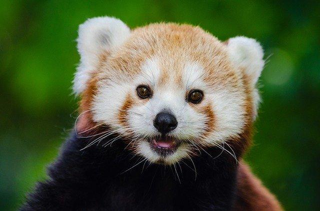 Roter Panda mit hellem Gesicht