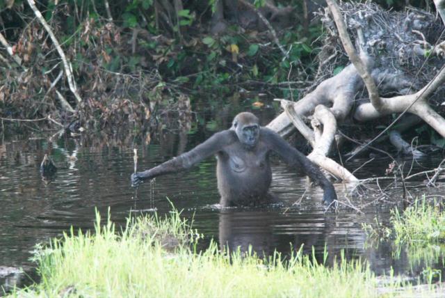 Gorilla im Wasser, sie sind keine Wasseraffen