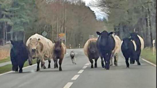 angeblicher Wolf treibt Rinder
