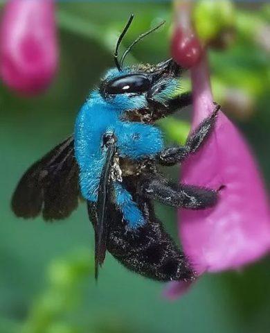 Die blaue Calamintha-Biene Osmia calaminthae