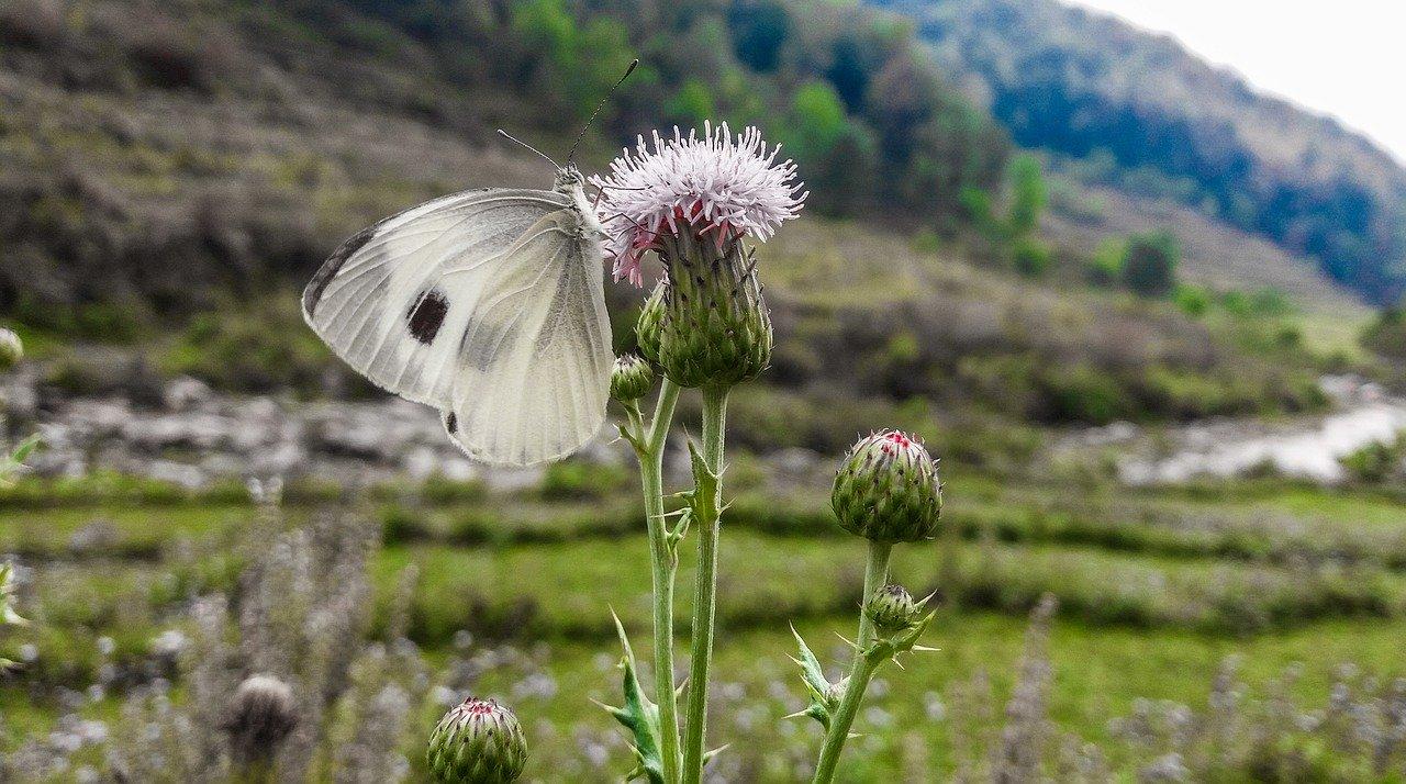 Schmetterling Distel