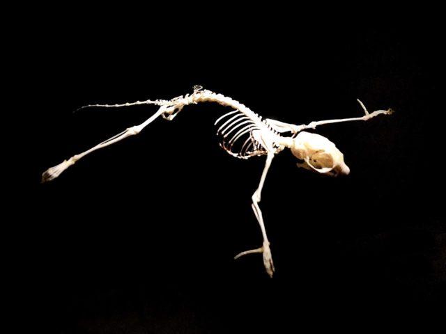 Gleithörnchen-Skelett