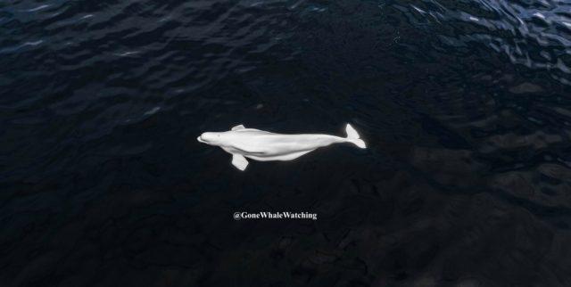 Beluga in Kalifornien