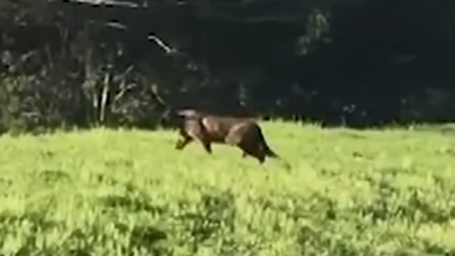 Pseudo-Großkatze in Australien